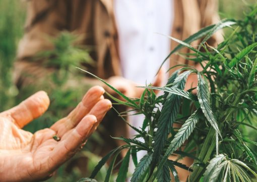 Phytoremediation with Hemp – The Big Picture